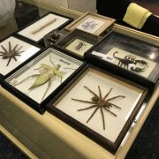 COLLECTION OF CASED INSECTS